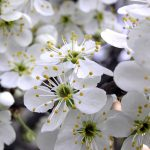 Beautiful Cherry Flowers HD Wallpapers Full Size For Free Download