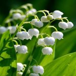 Really Pretty Backgrounds For Muguet Flower For Mobile Background